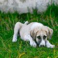 Le vermifuge pour chien