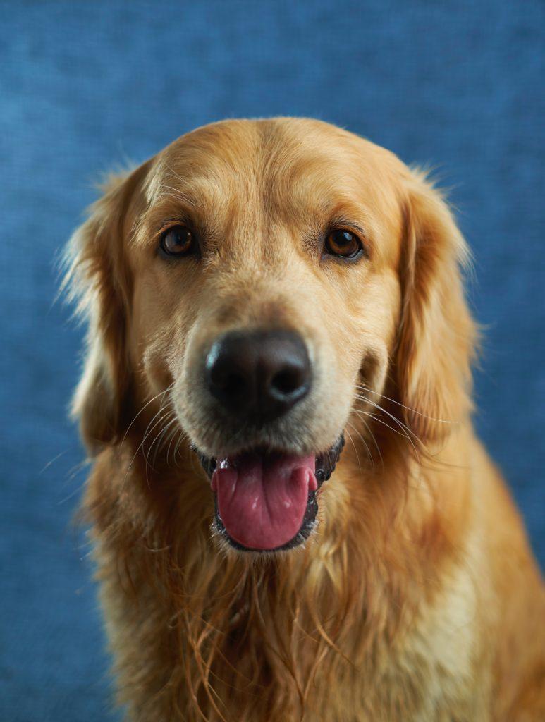 Portrait-chien
